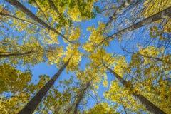 Золотая покрашенная достигаемость деревьев Bigtooth Aspen для неба Стоковая Фотография RF