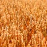 Золотая предпосылка текстуры пшеничного поля Стоковое Изображение RF