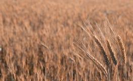 Золотая пшеница растет на поле Стоковая Фотография