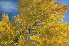 Золотая расшива голубого неба осины белая Стоковые Изображения RF