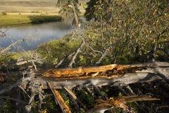 Золотая древесина упаденного дерева на береге реки Lamar, Йеллоустона Стоковые Фотографии RF