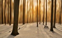 Золотая древесина Стоковое Изображение RF