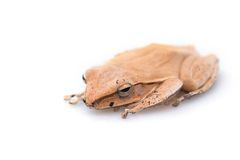 Золотая древесная лягушка, общая древесная лягушка Стоковая Фотография
