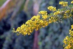 Золотая сенна Стоковое Изображение
