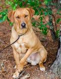 Золотая собака породы Retriever Лабрадора смешанная Стоковые Фотографии RF