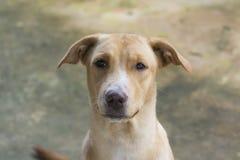 Золотая собака Стоковое Фото