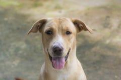 Золотая собака Стоковое Изображение RF
