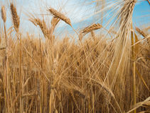 Золотая спиковая пшеница под голубым небом с облаками Стоковые Фото