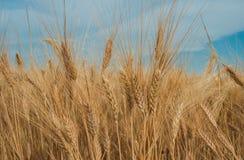 Золотая спиковая пшеница под голубым небом с облаками Стоковые Фотографии RF