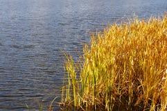 Золотая трава озером Стоковая Фотография RF