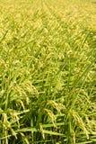 Золотая ферма неочищенных рисов стоковые фотографии rf