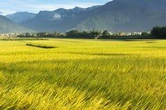 Золотая ферма неочищенных рисов стоковое изображение rf
