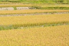 Золотая ферма риса стоковое фото