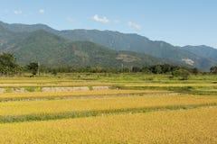 Золотая ферма риса стоковые фотографии rf