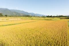 Золотая ферма риса стоковые изображения rf