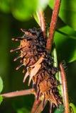 Золотая birdwing гусеница бабочки Стоковые Изображения RF