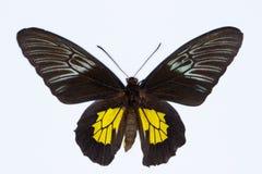 Золотая birdwing тропическая бабочка изолированная на белизне Стоковые Изображения