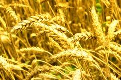 золотистая зрелая пшеница Стоковая Фотография RF