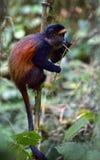 золотистая обезьяна Стоковые Фотографии RF