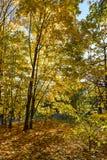 Золотистая осень Дерево клена осени Стоковая Фотография