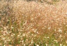 Золотистая предпосылка травы Стоковые Изображения RF
