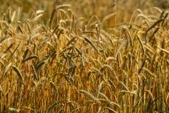 золотистая пшеница хлебоуборки Стоковая Фотография