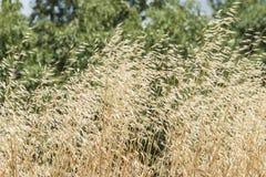 золотистая пшеница Стоковое Изображение