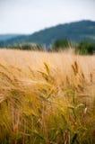 золотистая пшеница Стоковое Фото