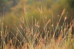 Золотистая трава Стоковые Изображения