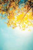 Золотистое дерево Стоковые Изображения RF