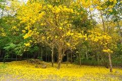 Золотистое дерево Стоковые Изображения