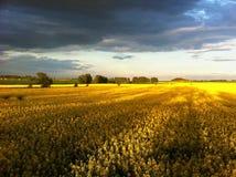 золотистое лето Стоковые Фотографии RF