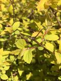 золотистые листья Стоковые Изображения