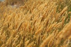 Золотистые травы стоковая фотография rf
