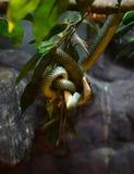 золотистый вал змейки Стоковые Изображения RF