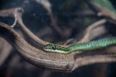 золотистый вал змейки Стоковое Фото