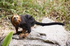 золотистый возглавленный tamarin льва Стоковая Фотография