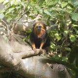 золотистый возглавленный tamarin льва Стоковые Изображения