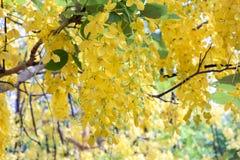 золотистый ливень Стоковая Фотография RF