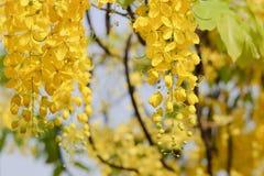 золотистый ливень Стоковая Фотография