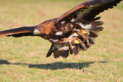 Золотистый орел в полете Стоковые Фотографии RF