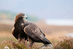 Золотистый орел Стоковые Фотографии RF