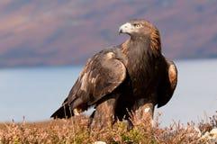 Золотистый орел Стоковые Изображения