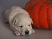 золотистый спать retriever щенка Стоковые Фото