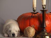 золотистый спать retriever щенка Стоковое фото RF