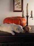 золотистый спать retriever щенка Стоковое Изображение