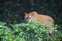 Золотистый тигр стоковое фото rf