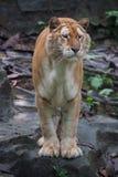 Золотистый тигр стоковые фото