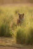 Золотистый тигр Стоковая Фотография