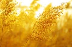 золотистый тростник Стоковые Фотографии RF